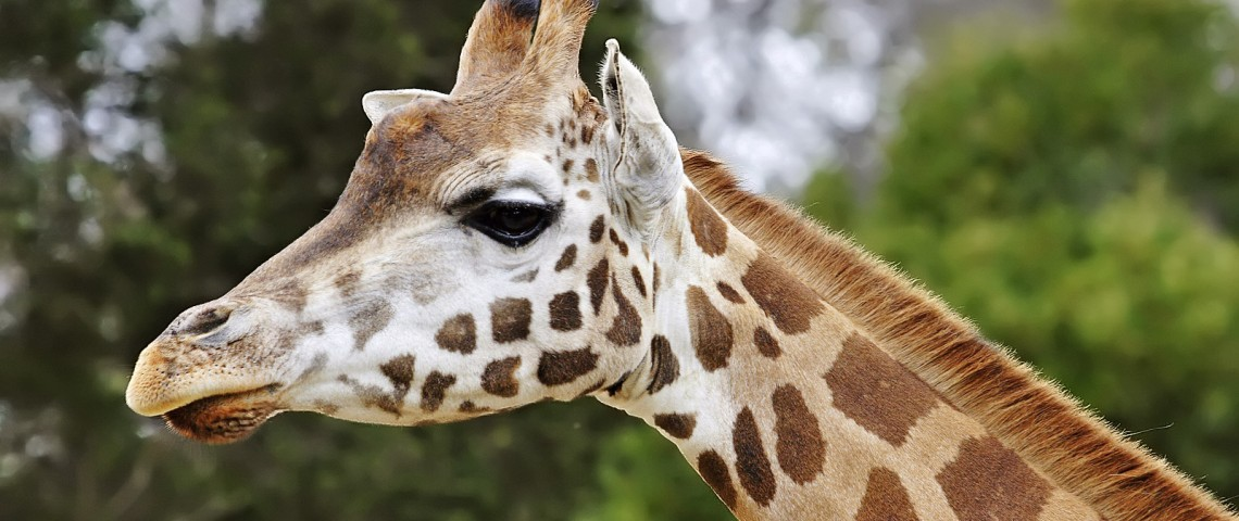 Giraffe08_-_melbourne_zoo_edit